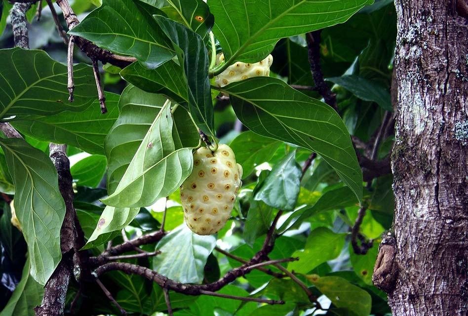 Buah Mengkudu Sebagai Pupuk Organik Cair