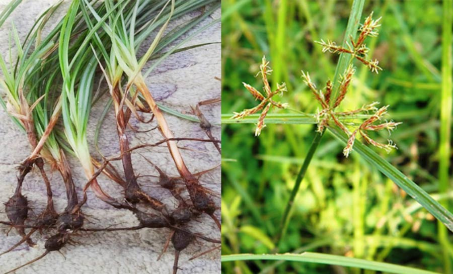 membuat PGPR dari akar rumput teki