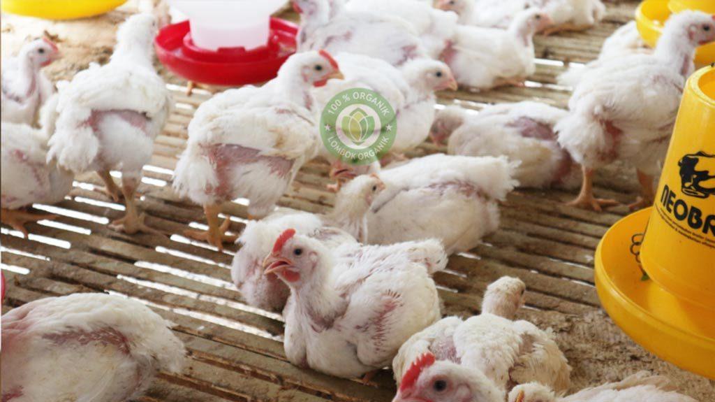 Budidaya Ayam Broiler Organik