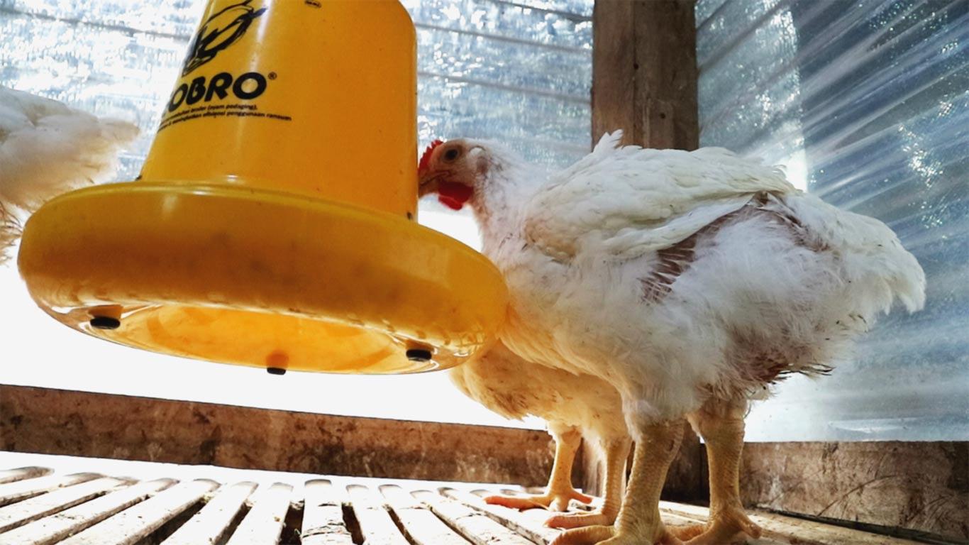 jamu menambah nafsu makan hewan ternak