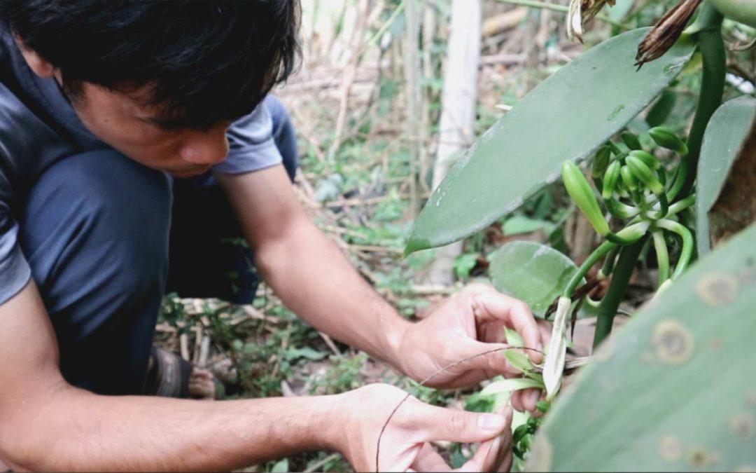 Cara Mengawinkan Bunga Vanili, Berhasil 98%