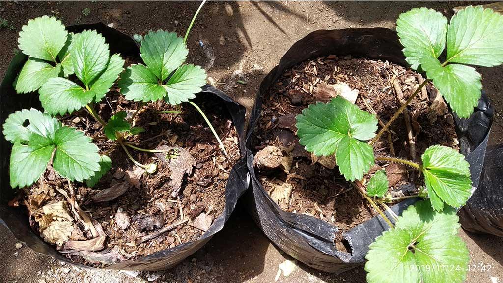 2 cara memperbanyak tanaman strawberry