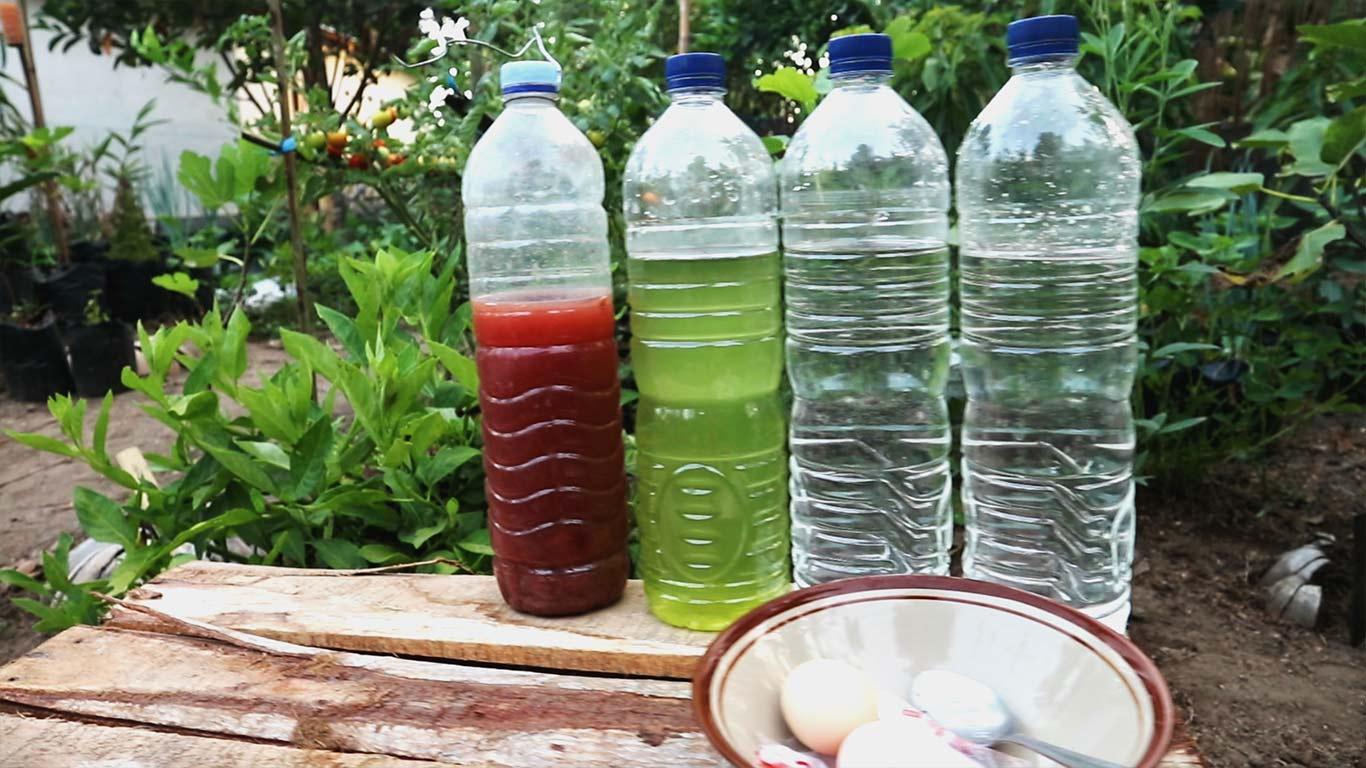 Cara Cepat Membuat Bakteri Fotosintesis (PSB) 2 Hari Sudah Merah