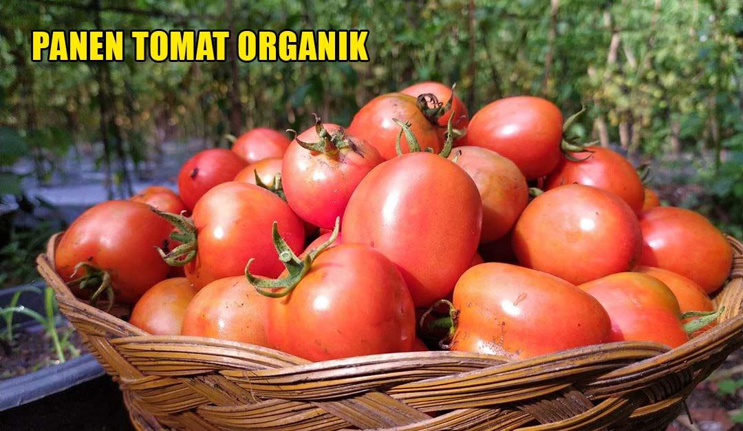 Panen tomat organik