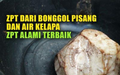 Membuat Zat Pengatur Tumbuh (ZPT) Dari Bonggol Pisang & Air Kelapa